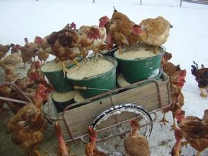 nourrissage volailles